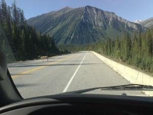 Herten op de weg